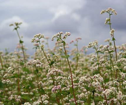 Buchweizen Bodenkur von bobby-seeds, einjährige Gründüngung/Insektenweide 250 Gramm