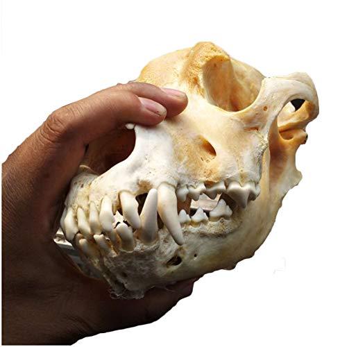 LUCKFY Taxidermia Cabeza de Animal - Cráneo Perro Real - Dientes de Perro de tamaño Natural del cráneo del Modelo de taxidermia Consumibles Arte Bone Veterinario Medicina Oficina decoración