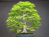 Luake 50 Dawn Redwood Forest Bonsai Seeds