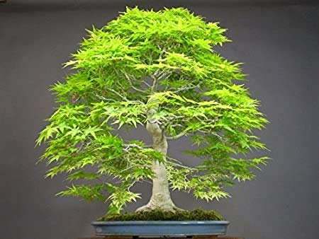 Elwyn 50 Dawn Redwood Forest Bonsai Seeds