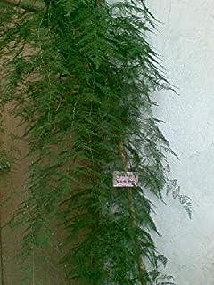 30 Seeds Mini Bamboo Bonsai Setose Asparagus Seeds,30 Seeds/Lot