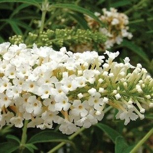 Buddleia Sommerflieder Weiss 1 Pflanze 9cm Topf Strauch/ Buddleia White Profusion 1 Plant 9cm Pot
