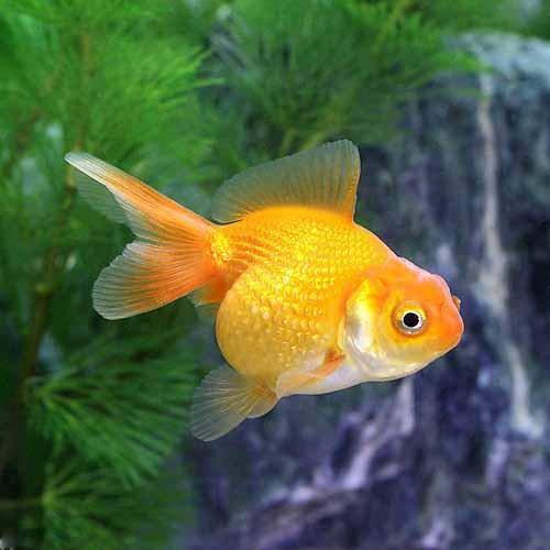 (国産金魚)浜錦(1匹)