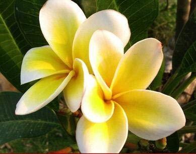 Green Seeds Co. 100 Gardenia bonsai (cabo Jasmine) -diy Home Garden Windowsill Potted Bonsai Sorprendente olor y amp; Regalo de hermosas flores: Marrón