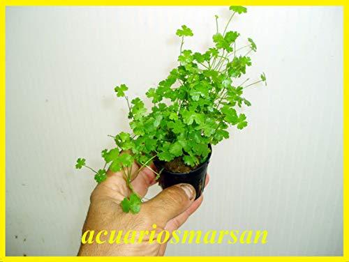Desconocido Planta DE Acuario HYDROCOTYLE TRIPARTITA (Japan)