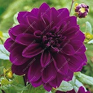 Virtue Bulbos verdaderos de la dalia, flor de la dalia, bulbos de flor del bonsai, (no semillas de la dalia), planta perenne en bulbo Raíz de bulbo para el jardín 2 PC 5