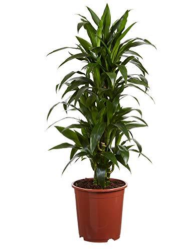 Plante d'intérieur de Botanicly – Dragonnier – Hauteur: 120 cm – Dracaena Janet Craig