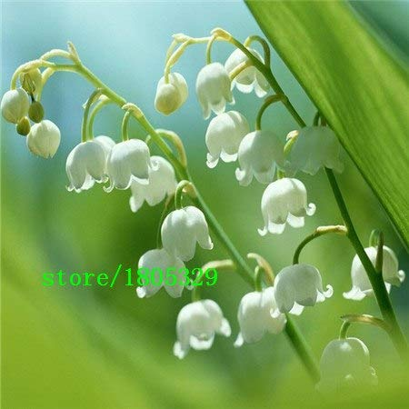 Bloom Green Co. GGG 50 pcs Lily of the Valley flower seeds, bell orchid seeds, rich aroma,bonsai flower seed, so cute and beautiful: Green