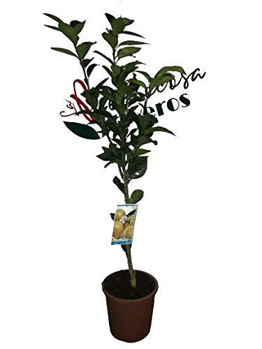 Naranjo - Maceta 25cm - Altura total aprox. 1'20cm. - Planta viva - (Envíos sólo a Península)