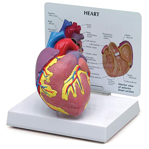 Heart Model   Human Body Anatomy Replica of Normal Heart for Doctors Office Educational Tool   GPI...