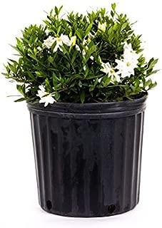 AMERICAN PLANT EXCHANGE Dwarf Radicans Gardenia Live Plant, 3 Gallon, Double White Bloom
