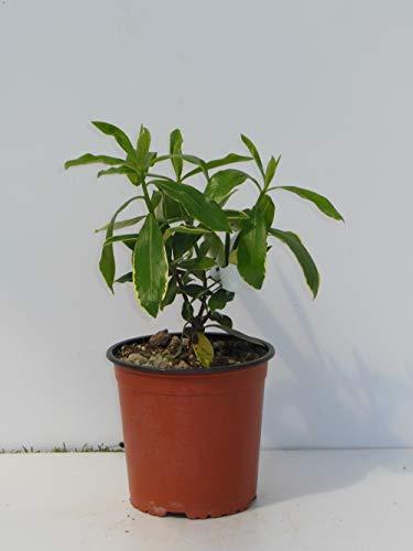 pianta vera da esterno di Daphne odora v16 (la lavanda d'oriente)