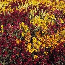 Fleur Kings Seeds Flux des paquets girofl e Tapis persan mixtes