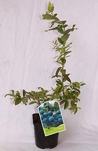 Arandano (maceta 2 litros) - Arbusto frutal vivo