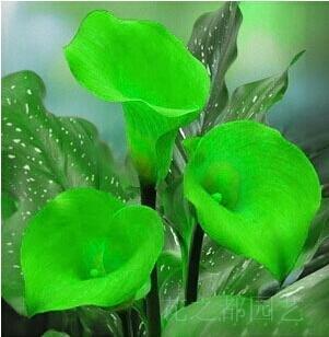 Calla Samen importiert aus Holland Blumen-Samen (nicht Calla-Lilien-Birnen) 120 PCS Calla Seeds 6