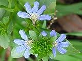CROSO Keim Seeds Nicht NUR Pflanzen: 5 Graines De Fleur Even (Scaevola Crassifolia) H143 Fan Blumensamen Seeds