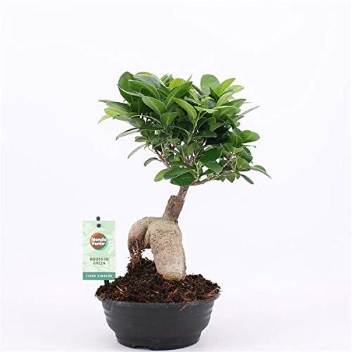 Bonsai Ficus microcarpa Ginseng 35 cm Chinesische Feige