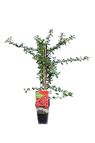 Mittelmeer-Feuerdorn, Europäischer Feuerdorn - Pyracantha coccinea Red Column - Gesamthöhe 70-90 cm im 1,7 Ltr. Topf