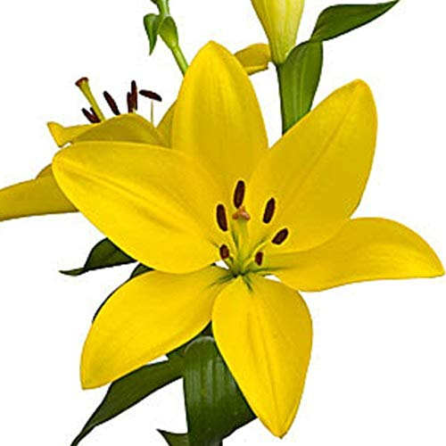 LIVE GREEN Asiatic Lily Yellow Imported and Hybrid Flower Bulbs - Pack of 2 Bulbs