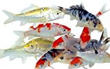 Toledo Goldfish Live Standard Koi for Ponds, Aquariums or Tanks – USA Born and Raised – Live Arrival Guarantee (3 to 4 inches, 10 Fish)