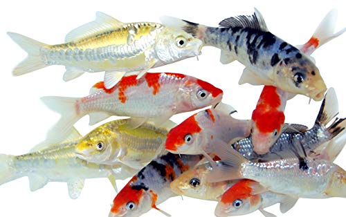 Toledo Goldfish Live Standard Koi for Ponds, Aquariums or Tanks – USA Born and Raised – Live Arrival Guarantee (3 to 4 inches, 20 Fish)
