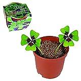 Eurowebb - trébol de 4 hojas para plantar con 2 bulbos en maceta