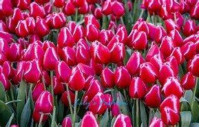 100pcs graines Tulip, Tulip agesneriana, aromatiques graines de fleurs des plantes en pot plus belles plantes vivaces colorées Tulip Garden 5
