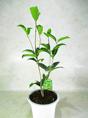 ミニモクセイスイートオリーブ四季咲白花銀木犀鉢植苗木5号プラ鉢全高:約55㎝