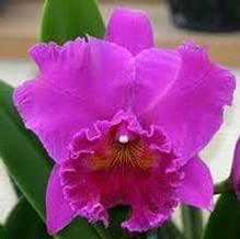 1 Haruko Kanzaki 'Volcano Queen' Cattleya Orchid Plant 3