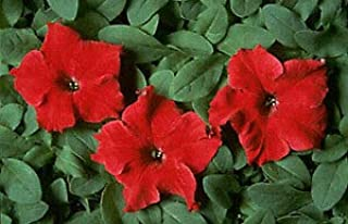 Petunia Dreams Red 2,000 Seeds Need More? Ask