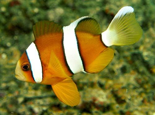 【海水魚/観賞魚/スズメダイ】 ナミクマノミ ※国産ブリード ■サイズ:3cm± (1匹)