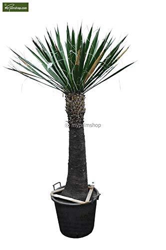 Winterharte Fädige Palmlilie - Yucca Carnerosana - Stamm 100-110cm Topf Ø 55cm SPEDITIONSVERSAND