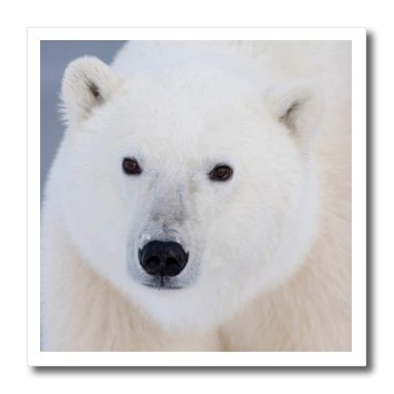 3dRose ht_206412_1 Polar Bear Ursus Maritimus Churchill Manitoba Canada Iron on Heat Transfer for White Material, 8