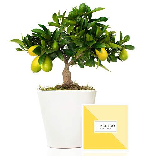 Limonero Lakeland 38 cm en maceta de 16 cm entregado en caja de regalo con tríptico con información y guía de cuidados - Árbol frutal enano interior