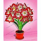 !大セール1個/ロット、混合色、アマリリス球根、アマリリス球根、直径3-6センチ、100%SproutingPlant無料shippi:7
