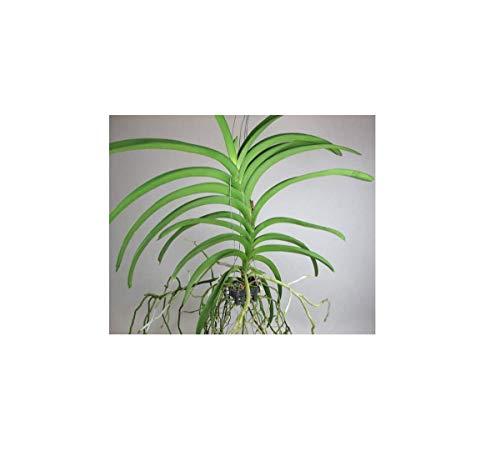 Stk - 1x Vanda Hybride großblumig epiphytisch Orchidee Pflanze OW274 - Seeds Plants Shop Samenbank Pfullingen Patrik Ipsa