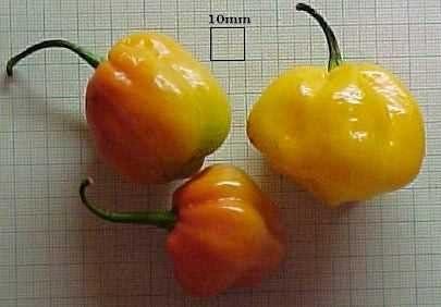 Pepper Scotch Bonnet Ranking TOP16 Jamaican 000 Yellow Seeds 1 Brand new
