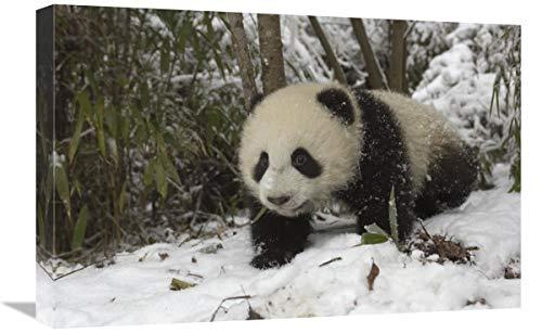 Global Gallery Panda Gigante de Seis Meses de Edad, Cachorro en Nieve,...