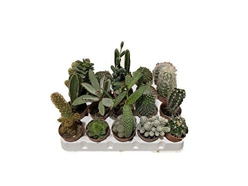 Mondonatura Piante grasse Vere Mix Cactus e succulente, Comuni E Non Comuni,placca da 20 piantine Diametro 5 SRL