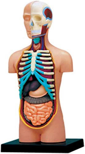 BANNAB 4D Vision Human Torso Anatomy Model Puzzle Assembly Toy Anatómico Huamn Órganos internos para recursos de Aprendizaje
