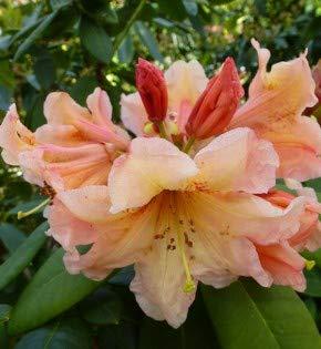 INKARHO - Großblumige Rhododendron Macarena 25-30cm - Alpenrose