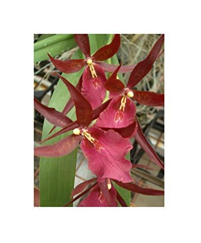 Stk - 1x Miltassia Cairns New River Meristem Sorte Orchidee Pflanze OW127 - Seeds Plants Shop Samenbank Pfullingen Patrik Ipsa
