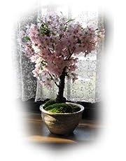 盆栽 桜盆栽 自宅でお花見ができる桜盆栽です