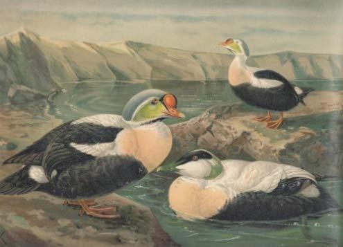 Pracht-Eiderente. Somateria spectabilis (L.)., Männchen im Prachtkleide. Eiderente. Somateria mollissima (L)., Männchen im Prachtkleide. Chromolithographie.