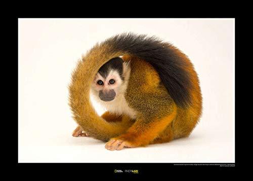 Komar National Geographic WB-NG-043-70x50 - Cuadro de pared (70 x 50 cm, sin marco), diseño de ardilla americana en peligro
