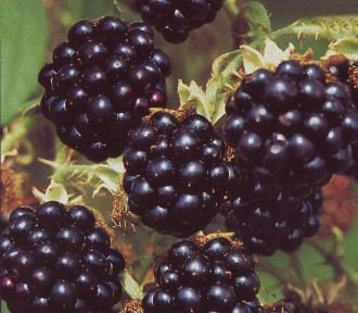 Rubus fruticosa 'Black Satin' - (Brombeere 'Black Satin')- Containerware 40-60 cm