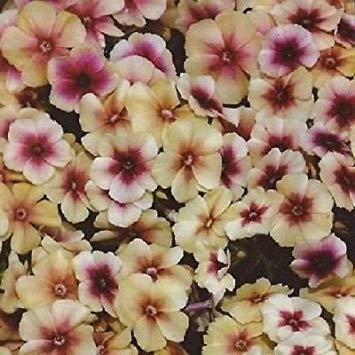 ASTONISH Pacchetto semi: 30 + Phlox Cherry Caramel / Semi
