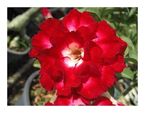Adenium obesum AekSiam - Rose du désert - Faux baobab - 2 graines