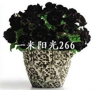 50 graines / pack nobles élégantes graines de pétunia noir Bonsai pots de fleurs de graines de griotte planteurs