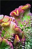 Green Seeds Co. variedades de cresta de gallo, 200pcs / bag bonsai cresta de gallo, Celosia Cristata hermosa planta de bonsai de flor jardín de casa: varios colores